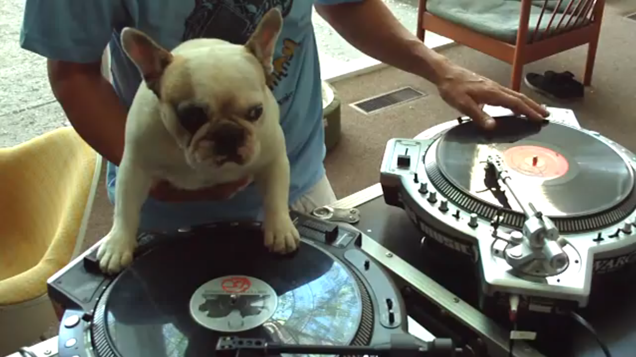 French Bulldog DJ Is Totally Killin' It On The Turntables