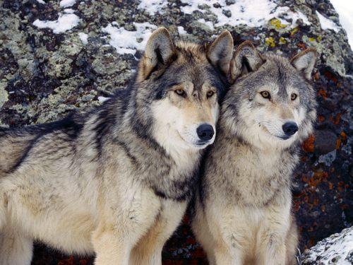 smart wolves