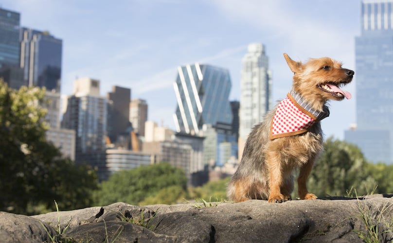 Yorkie Dog In The CIty