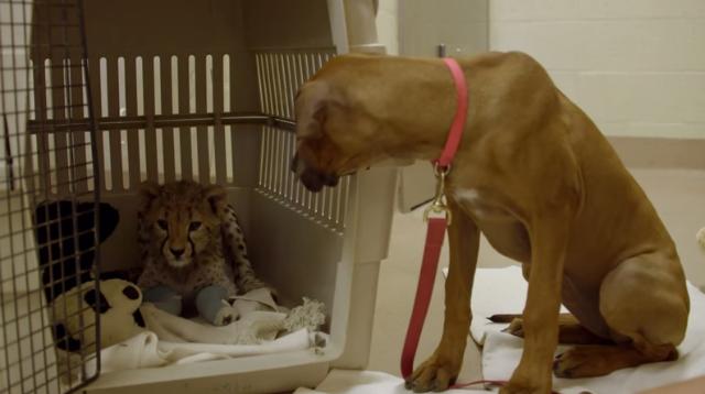 Loyal Puppy Dotes on Orphaned Cheetah Cub BFF After Surgery