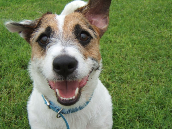 Just Jesse the Jack Russell (1)