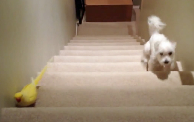 Parrot Gives All In Mighty Race Against Maltese On Stair Mountain