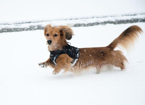 Dachshund_in_snow