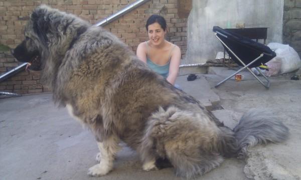 Image via Caucasian Dogs