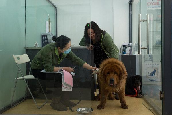 nibble tibetan mastiff