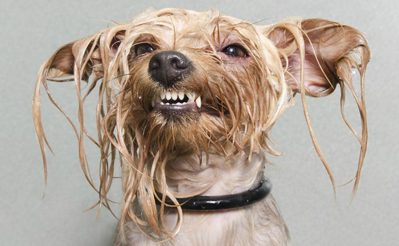 Best Wet Dog Food >> Wet Dog Smell Explained By Science
