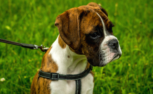 boxer on harness