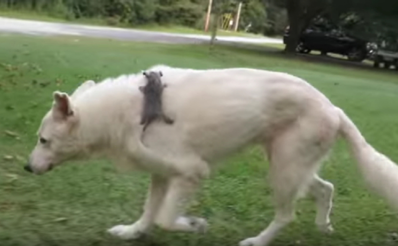 Dog Adopts Baby Opossum After His Mom Was Hit By A Car