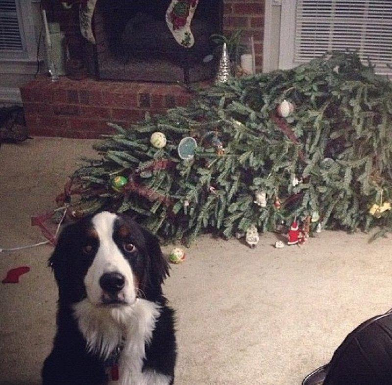 """""""A lot of humans don't know this, but Christmas trees are fire hazards. I peed on it so it won't accidentally burn the house down. You're welcome."""""""
