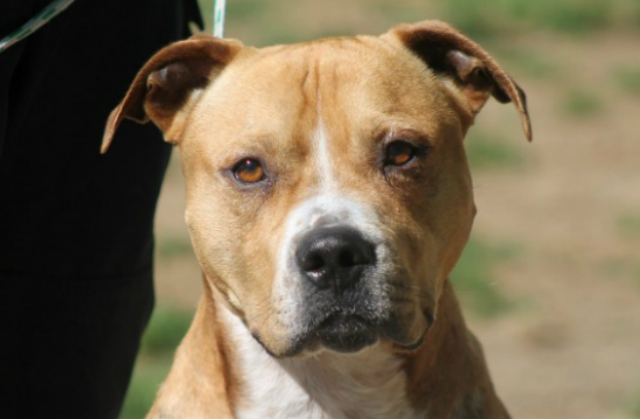 Riggs, a happy Pit Bull now up for adoption.
