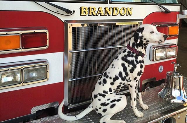 How The Dalmatian Became The World S Favorite Fire Dog Barkpost