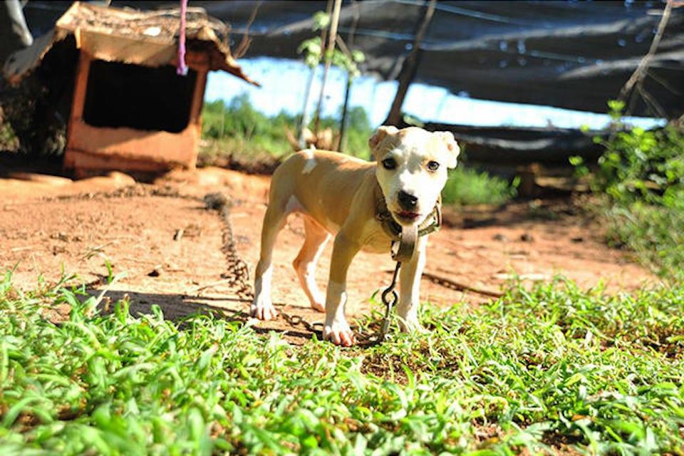 Puppy Victim of Dogfighting