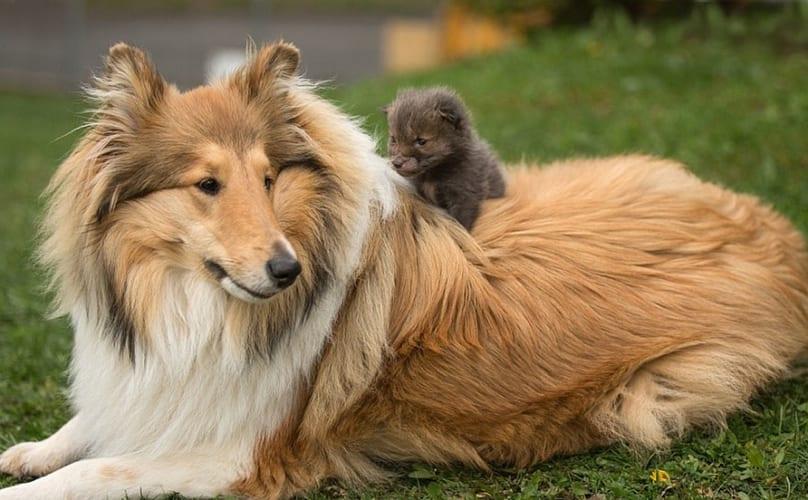 collie adopts fox 1