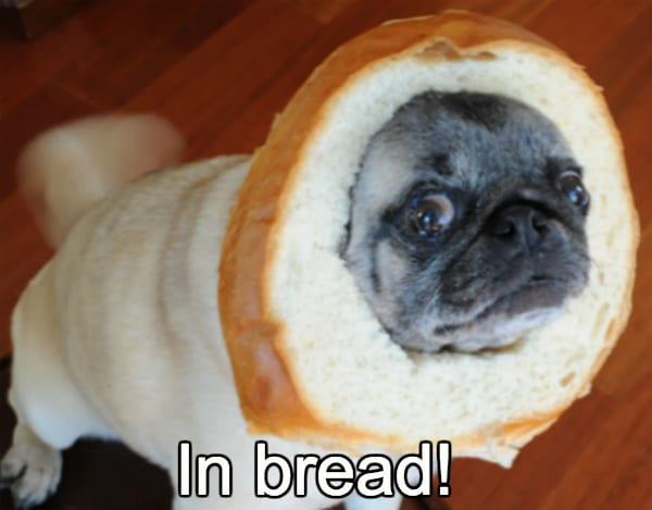 pug in bread