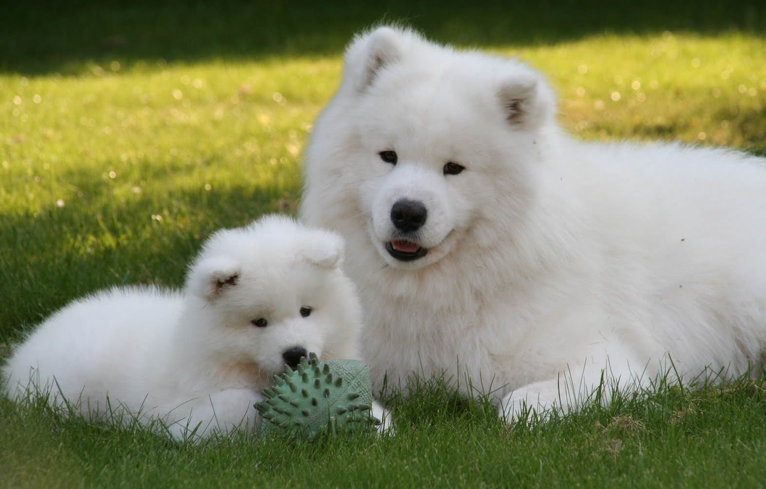 The Top 12 Fluffiest Dog Breeds That Ever Floofed Barkpost