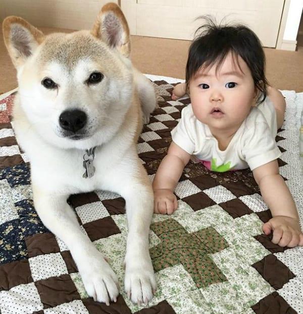 shiba with baby