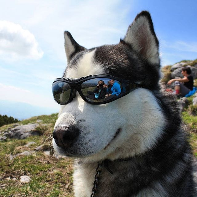15 Of The Coolest Huskies Ever. Period.