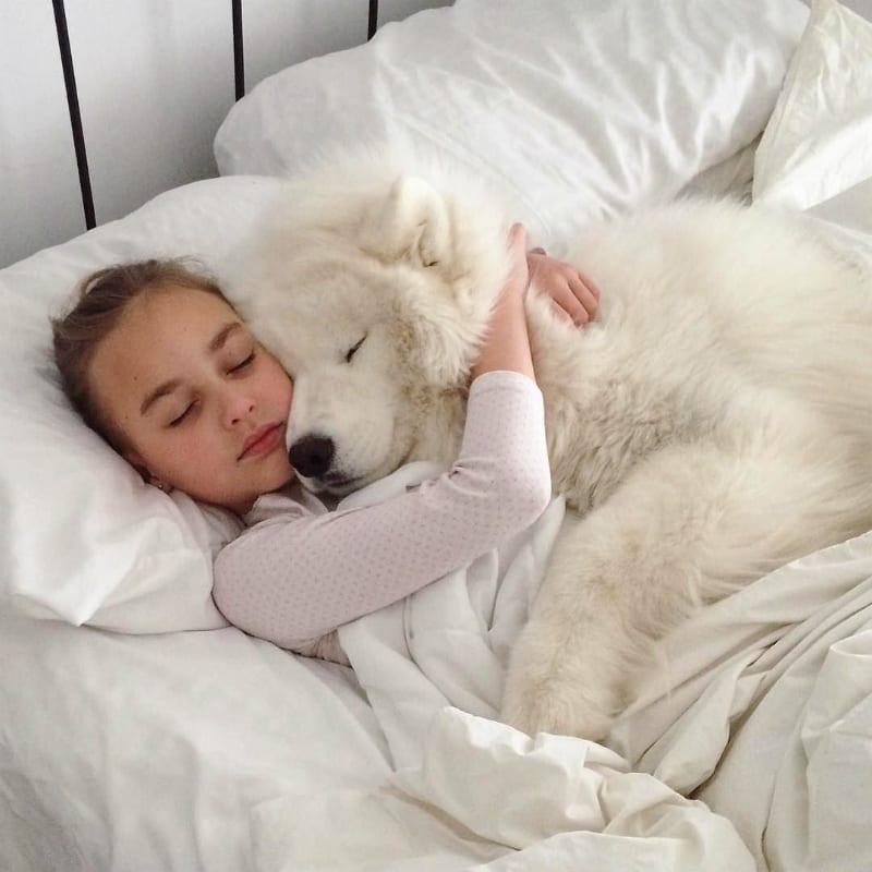 samoyed cuddle