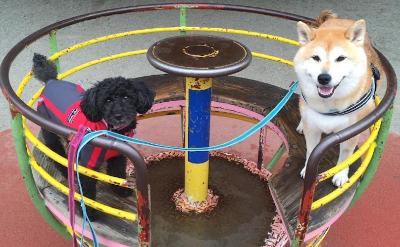 No One Is As Happy As This Shiba And His Poodle Sister At The Playground