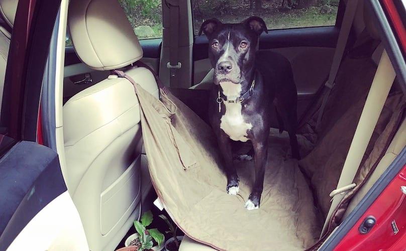 Pit Bull in achterbank van auto