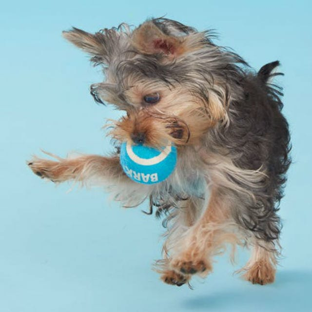 Dog with blue ball