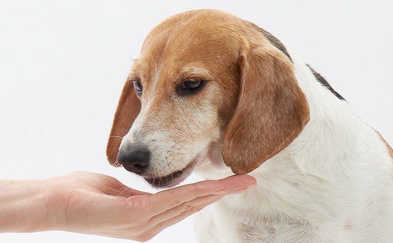 Beagle Being Fed A Treat