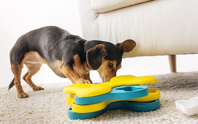 Dachshund Wiener Dog With BarkBox Puzzle Toy Tornado