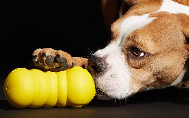 Pit Bull with BarkBox Super Chewer Toy Cal the Caterpillar