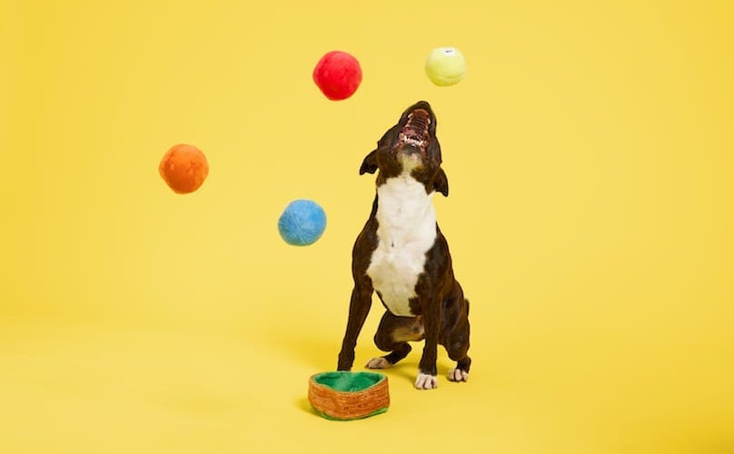 Pit Bull With Multi-Part Fetch Toys