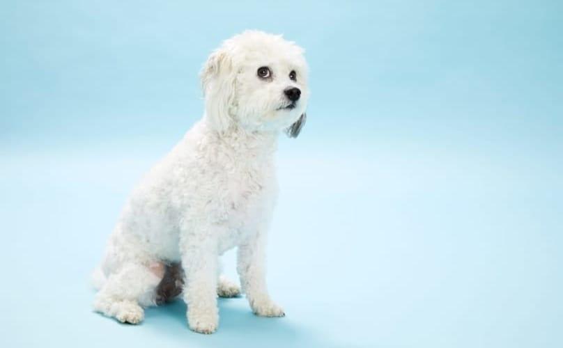 Kleine witte hond