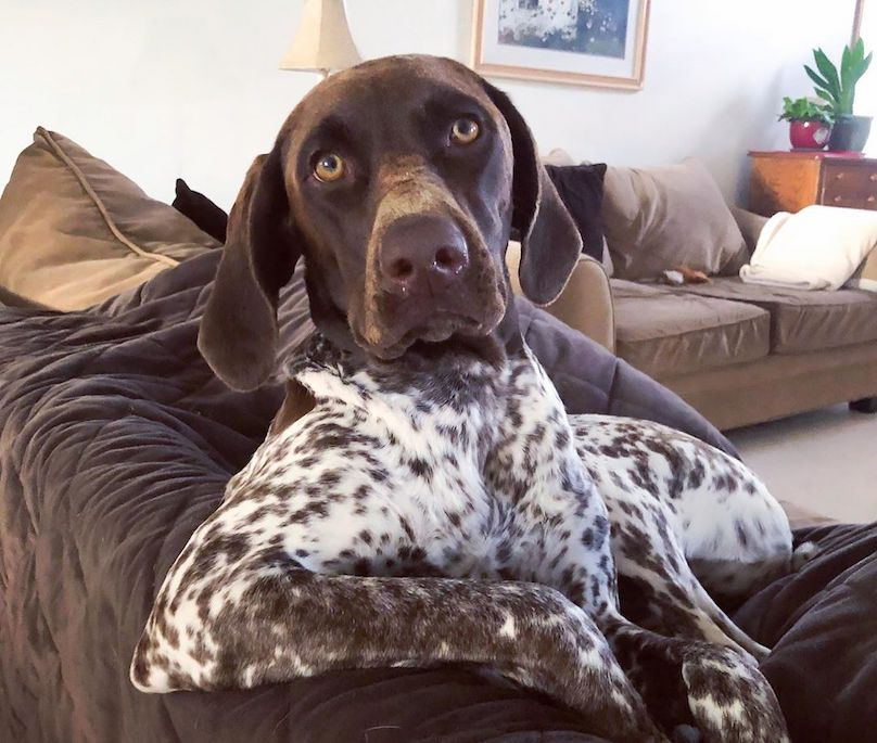German Shorthaired Pointer Breed Info Guide: Quirks, Pictures ...