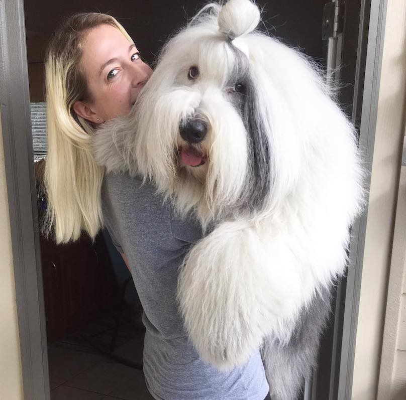 Old-English-Sheepdog-Breed-Info-Guide: Facts And Pictures | BARK